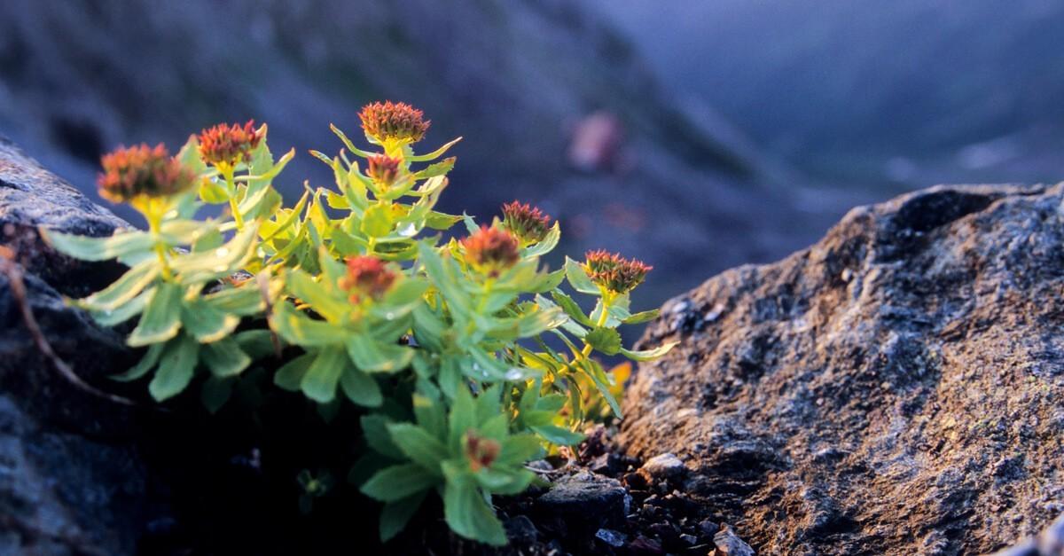 Różeniec górski (Rhodiola rosea)